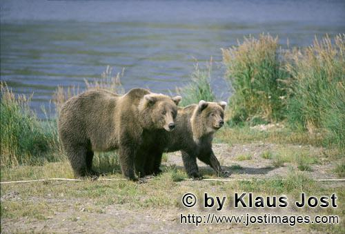 Brown Bear/Ursus arctos horribilis        Two brown bears look to a conspecific        The brown