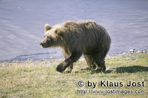 Brown Bear/Ursus arctos horribilis        Suspicious Brown Bear        With full concentration, the