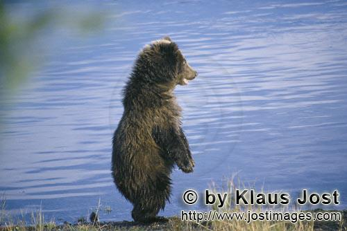 Braunbaer/Brown Bear/Ursus arctos horribilis        Young Brown Bear at the river bank