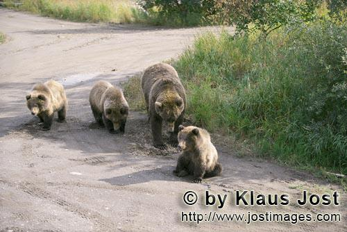 Brown Bear/Ursus arctos horribilis        Mother brown bear with three cubs        Mother brown b