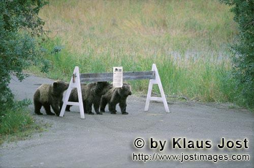 Braunbaer/Brown Bear/Ursus arctos horribilis        Three Brown Bear cubs and a sign