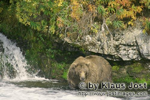 Brown Bear/Ursus arctos horribilis        Magnificent brown bear in the autumn        It's late fall