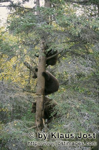 Brown Bear/Ursus arctos horribilis        Three little brown bears up the tree        While mummy