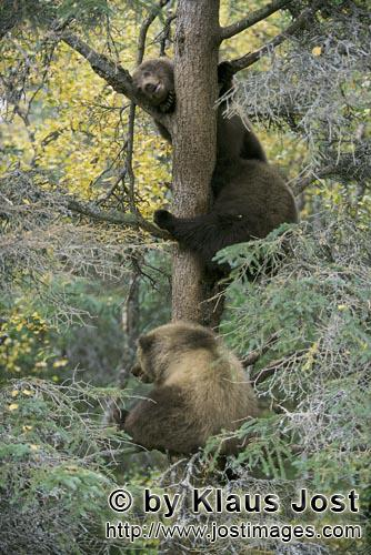 Brown Bear/Ursus arctos horribilis        The Three Bears Tree        While mummy brown bear