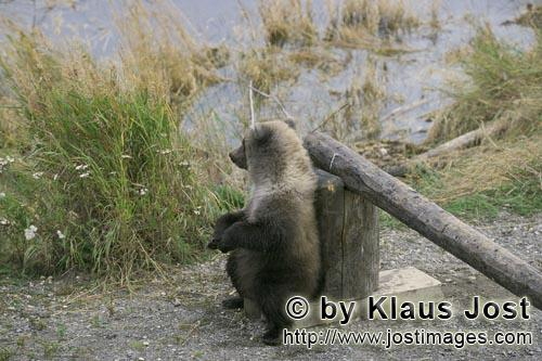 Braunbaer/Brown Bear/Ursus arctos horribilis         Little brown bear makes a break on the barrier<