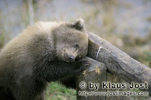 Brown Bear/Ursus arctos horribilis        Little Brown Baer sleeps on the barrier        But this i