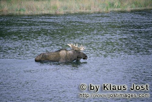 Moose/Alces alces        Moose in the shallow river water        From the dense forest comes suddenl