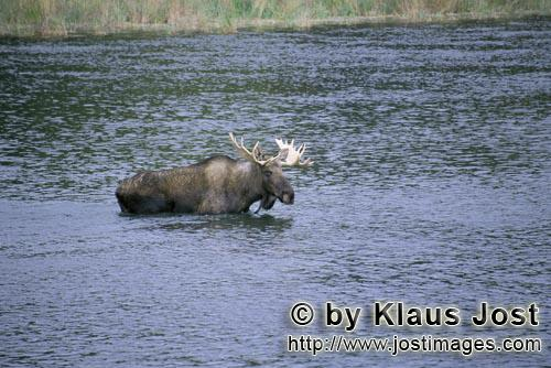 Elch/Moose/Alces alces Moose crosses a river