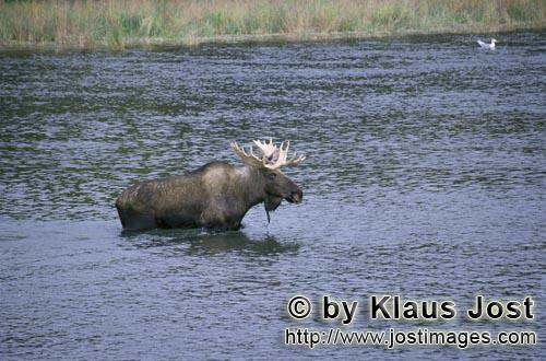 Moose/Alces alces        Moose crosses a river