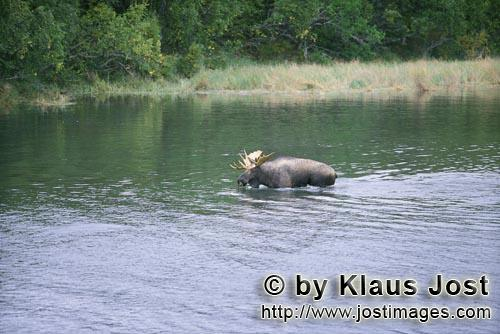 Moose/Alces alces        Moose in shallow water        Without worrying about the many brown bears a