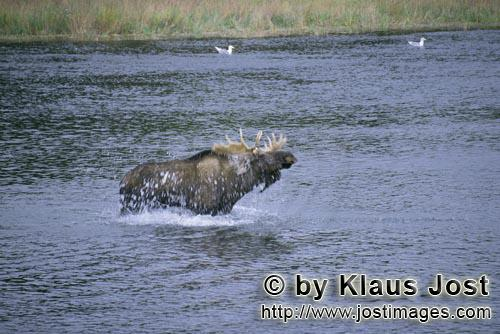 Elch/Moose/Alces alces        Moose shake the water off        Without getting to take care of the <