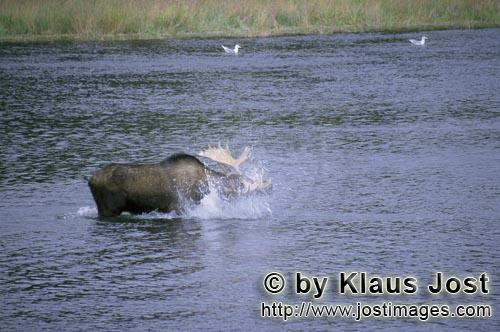 Moose/Alces alces        Moose shake the water off        Without getting to take care of the bro