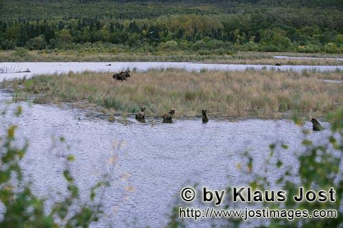 Moose/Alces alces        Astonished Brown bears and a moose        The brown bears are stunne