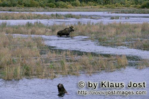 Moose/Alces alces        Moose in River Landscape        Completely unconcerned and without noticing