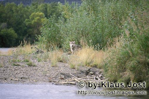 Wolf/Canis lupus        Wolf in the Katmai backcountry