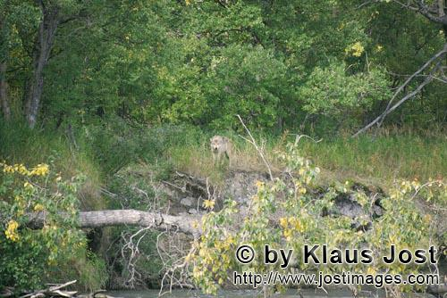 Wolf/Canis lupus        A Wolf looks out of the dense vegetation