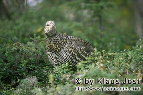Spruce Grouse/Dendragapus canadensis        Spruce Grouse in the autumn forest        In the dense u