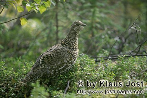 Spruce Grouse/Dendragapus canadensis        The Spruce Grouse loves berries, buds and leaves