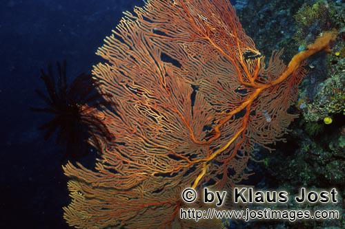 Gorgonie/Sea fan/Subergorgia mollis        Giant Sea Fan at the drop off