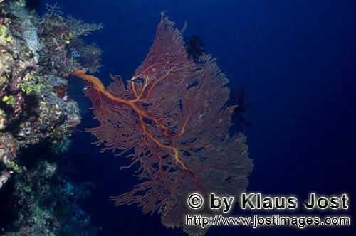 Sea fan/Subergorgia mollis         Sea Fan growing on a Fiji reef ledge