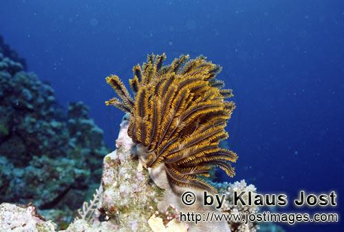 Federstern/Feather star/Comanthus benetti        Exposed feather star