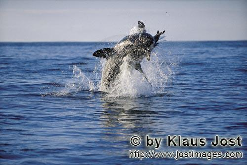 "Weißer Hai/Great White shark/Carcharodon carchariasBreaching Great White Shark off Dyer Island It is late afternoon. Dyer Island is located six sea miles off the coast of Gansbaai, and in a short distance on the opposite side there is the small rock island of Geyser Rock. There is a South African Fur Seal colony  with approximately 60,000 seals on Geyser Rock. I levelled my camera at Koekie, the artificial neoprene seal decoy, and the boat is moving along. For hours. Suddenly, a huge and very heavy body is rocketing out of the water like a torpedo. It has ""Koekie"" in its mouth. Everything happens in a split second. We just watched the attack of a Great White Shark, carried out with the utmost precision."