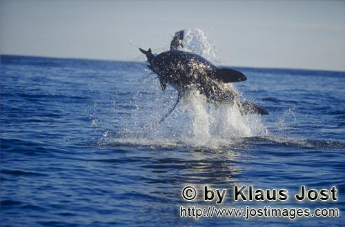 Great White shark/Carcharodon carcharias        It is late afternoon. Dyer Island is located six