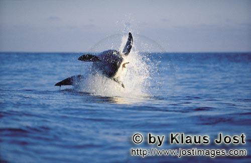 "Weißer Hai/Great White shark/Carcharodon carchariasBreaching Great White shark It is late afternoon. Dyer Island is located six sea miles off the coast of Gansbaai, and in a short distance on the opposite side there is the small rock island of Geyser Rock. There is a South African Fur Seal colony  with approximately 60,000 seals on Geyser Rock I levelled my camera at Koekie, the artificial neoprene seal decoy, and the boat is moving along. For hours. Suddenly, a huge and very heavy body is rocketing out of the water like a torpedo. It has ""Koekie"" in its mouth. Everything happens in a split second. We just watched the attack of a Great White Shark, carried out with the utmost precision."