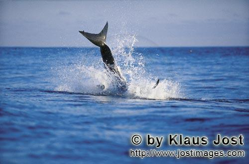 Weißer Hai/Great White shark/Carcharodon carcharias        It is late afternoon. Dyer Island is