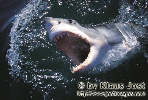Weißer Hai/Great White shark/Carcharodon carchariasWith its mouth open, the Great White Shark breaks through the waterSix sea (or nautical) miles from the coast of Gansbaai, quite close to Dyer Island and Geyser Rock, a great white shark breaks through the water surface. African penguins, cormorants (or sea ravens), many other sea birds and a large colony of South African fur seals (Arctocephalus pusillus) live here. The surface hunter often finds his prey on the water surface. The super-robber great white shark with its size and strength and fearsome jaws is a permanent danger to the South African fur seals around Dyer Island and Geyser Rock. The  great white shark belongs to the family of mako sharks and has very large gill slits and long pectoral fins. The largest great white shark ever caught had a length of 6.4 meters and an estimated weight of 1500 kg. In making a surprise attack from the depths they accelerate so fast that they sometimes shoot out of the water. The jaws of the great white shark with their sharp triangular teeth in the upper jaw and the pinpointed tusks in the lower jaw are notorious and dreaded. In order to be able to catch larger prey, the upper jaw is loose (or movable) and can be pushed forward. Lost or damaged teeth are replaced without any problem for a lifetime. The great white shark is the top robber of the food chain and fulfils an important task in conserving the ecological balance in the ocean. There is very little known about their behaviour and habitat. The great white shark exists almost unchanged for millions of years and has adjusted optimally to its environment. But now there is a danger that it will be exterminated by us humans.