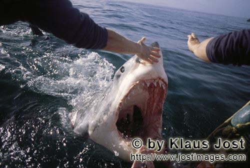 Weißer Hai/Great White Shark/Carcharodon carcharias        Great White Shark attacks outboard motor