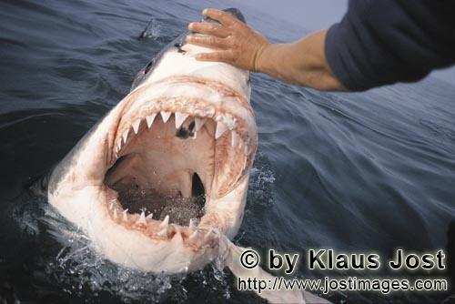 Weißer Hai/Great White Shark/Carcharodon carcharias        The Great White Shark shows its teeth</b