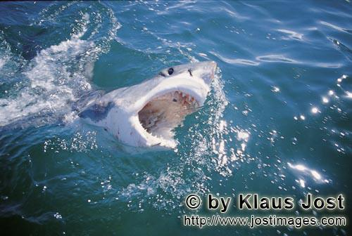 Great White Shark/Carcharodon carcharias        Great White Shark breaks through the water surface</