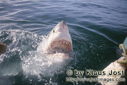 Weißer Hai/Great White Shark/Carcharodon carchariasGreat White Shark breaking through the water surface
