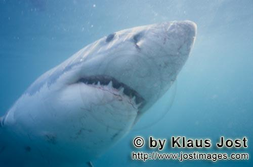 Great White Shark/Carcharodon carcharias        The white shark staring at its prey         A gre