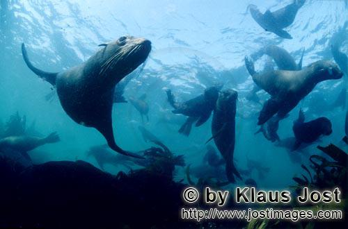 South African fur seal/Arctocephalus pusillus        Elegant fur seals underwater         On the roc