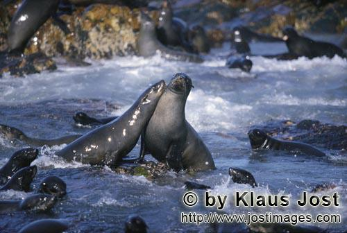 Suedafrikanische Pelzrobbe/South African fur seal/Arctocephalus pusillusSeals in the surf On the rocky island called Geyser Rock, in the immediate vicinity of Dyer Island, lives a seal colony of approximately 60,000 animals. As long as the South African Fur Seals (Arctocephalus pusillus) stay ashore and in the shallow water in the immediate vicinity of the island there is no danger for them. But if they start for their fishing hauls on the open sea  they dive 40 to 50 metres deep and are able to stay under water for up to five minutes  while swimming out and at their return, they have to cross a dangerous area which is tough for them. White Sharks lurk here. Seals are especially valuable for them. The danger is not over until the seals are back ashore. The high concentration of Great White Sharks is due to the seal colony.