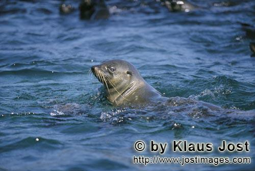 Suedafrikanische Pelzrobbe/South African fur seal/Arctocephalus pusillusSouth African fur seal checks the location On the rocky island called Geyser Rock, in the immediate vicinity of Dyer Island, lives a seal colony of approximately 60,000 animals. As long as the South African Fur Seals (Arctocephalus pusillus) stay ashore and in the shallow water in the immediate vicinity of the island there is no danger for them. But if they start for their fishing hauls on the open sea – they dive 40 to 50 metres deep and are able to stay under water for up to five minutes – while swimming out and at their return, they have to cross a dangerous area which is tough for them. White Sharks lurk here. Seals are especially valuable for them. The danger is not over until the seals are back ashore. The high concentration of Great White Sharks is due to the seal colony.