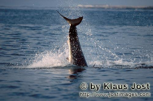 "Weißer Hai/Great White shark/Carcharodon carchariasBreaching Great White Shark near Dyer IslandIt is late afternoon. Dyer Island is located six sea miles off the coast of Gansbaai, and in a short distance on the opposite side there is the small rock island of Geyser Rock. There is a South African Fur Seal colony  with approximately 60,000 seals on Geyser Rock I levelled my camera at Koekie, the artificial neoprene seal decoy, and the boat is moving along. For hours. Suddenly, a huge and very heavy body is rocketing out of the water like a torpedo. It has ""Koekie"" in its mouth. Everything happens in a split second. We just watched the attack of a Great White Shark, carried out with the utmost precision."