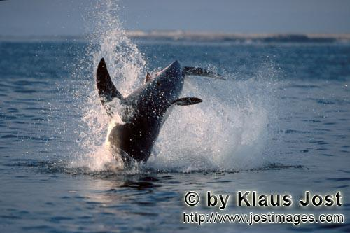 Weißer Hai/Great White shark/Carcharodon carcharias        Breaching Great White Shark near Dyer Is