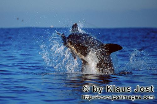 Weißer Hai/Great White shark/Carcharodon carcharias        Breaching Great White Shark        It is