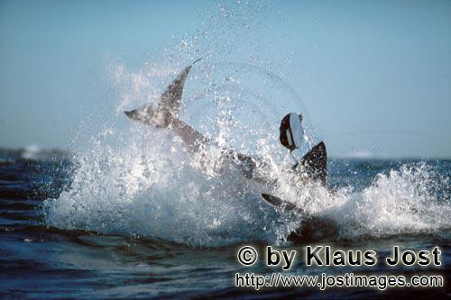"Weißer Hai/Great White shark/Carcharodon carchariasBreaching Great White Shark near Dyer Island It is late afternoon. Dyer Island is located six sea miles off the coast of Gansbaai, and in a short distance on the opposite side there is the small rock island of Geyser Rock. There is a South African Fur Seal colony  with approximately 60,000 seals on Geyser Rock I levelled my camera at Koekie, the artificial neoprene seal decoy, and the boat is moving along. For hours. Suddenly, a huge and very heavy body is rocketing out of the water like a torpedo. It has ""Koekie"" in its mouth. Everything happens in a split second. We just watched the attack of a Great White Shark, carried out with the utmost precision."