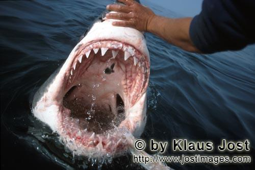 Weißer Hai/Great White Shark/Carcharodon carcharias        The teeth of the Great White Shark