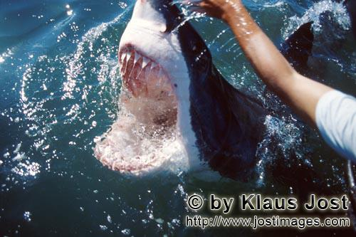 Weißer Hai/Great White Shark/Carcharodon carcharias        Wide open mouth of the White Shark