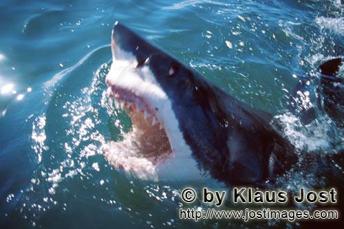 Weier Hai/Great White shark/Carcharodon carchariasGreat White Shark lifts its head out of the water
