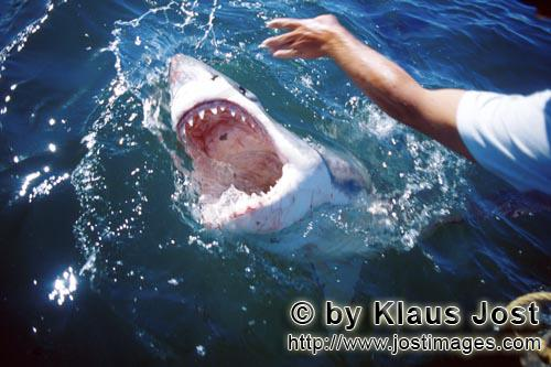Weißer Hai/Great White Shark/Carcharodon carcharias        Great White Shark breaking through the w