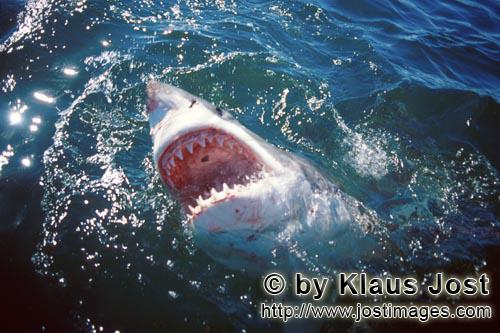 Weißer Hai/Great White Shark/Carcharodon carchariasGreat White Shark at the surface with its mouth open