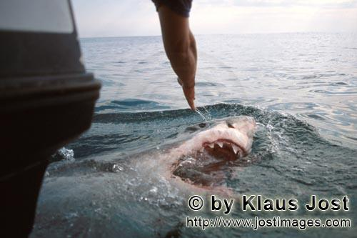 Weißer Hai/Great White shark/Carcharodon carchariasGreat White Shark emerging directly behind the boat