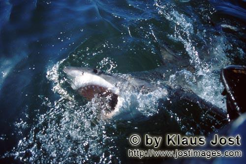 Weißer Hai/Great White Shark/Carcharodon carcharias        Great White Shark on the water surface</