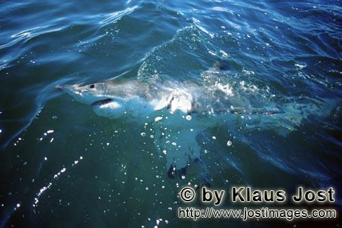 Great White Shark/Carcharodon carcharias        Great White Shark patrolling on the water surface</b